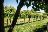 Azienda agricola vigna — Foto Stock