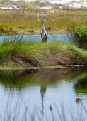 Great blue heron poses in florida wetlands — Stockfoto