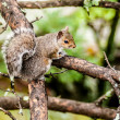 Stock Photo: Squirrel in the wilderness in the north carolina mountains