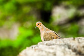 Pigeon standing on a rock cliff in the wild — Stock Photo
