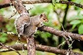 Squirrel in the wilderness in the north carolina mountains — Stock Photo