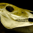 Stock Photo: Profile of skull of domestic horse on black background (Equus