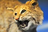 Angry cougar — Stock Photo