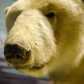 Um retrato de um urso polar — Fotografia Stock