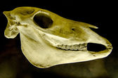 Profile of skull of domestic horse on a black background (Equus — Stock Photo