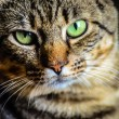 Portrait of green-eyed cat — Stock Photo