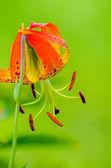 Dziki lilie pomarańczowy — Zdjęcie stockowe
