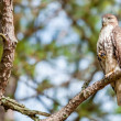 Coopers hawk perched on tree watching for small prey — Stock Photo