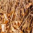 Stock Photo: Harvested corn leftovers stalks