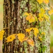 Autumn leaves on a tree trunk — Stock Photo