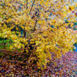 Yellow autumn tree — Stock Photo
