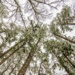 Looking up at snow covered tree tops — Stock Photo #43353855