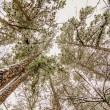 Looking up at snow covered tree tops — Stock Photo #43353987