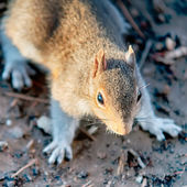 Squirrel posing for camera — Stock Photo