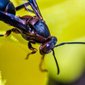 Wasp of the garden on a yellow wild flower, macro, — Stock Photo
