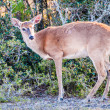 White tail deer bambi in the wild — Stock Photo #45211719