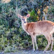 White tail deer bambi in the wild — Stock Photo #45211721