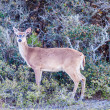 White tail deer bambi in the wild — Stock Photo
