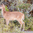 White tail deer bambi in the wild — Stock Photo #45211829