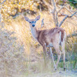 Постер, плакат: White tail deer bambi in the wild