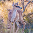 White tail deer bambi in the wild — Stock Photo #45211877