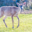 White tail deer bambi in the wild — Stock Photo #45211897