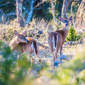 Witte staart herten bambi in het wild — Stockfoto