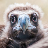 Young baby vulture raptor bird — Stock Photo
