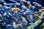River trout in fresh underwater — Stock Photo
