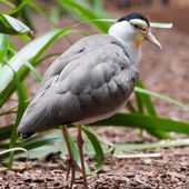 The Masked Lapwing (Vanellus miles),previously known as the Mask — Stock Photo