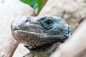 Dragon lizzard portrait closeup — Stock Photo