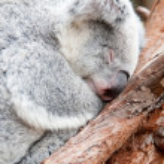 Adorable koala bear taking a nap sleeping on a tree — Stock Photo #45220489