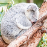 Adorable koala bear taking a nap sleeping on a tree — Stock Photo #45220495