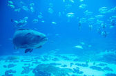 Giant grouper fish looking at diver — Stock Photo