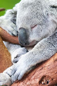Adorable koala bear taking a nap sleeping — Stock Photo