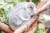 Adorable koala bear taking a nap sleeping on a tree — Stock fotografie
