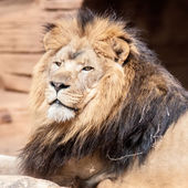Lion, portrait of the king of beasts — Stock Photo
