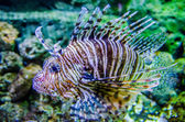 Poisonous exotic zebra striped lion fish  — Stock Photo