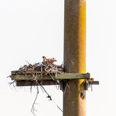 Young Osprey in a nest — Stock Photo