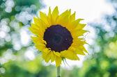 Zonnebloem in de zon op een natuur-achtergrond — Stockfoto