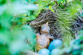 Babies Streak-eared Bulbul in nest with blue eggs — Stock Photo