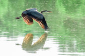 Great Blue Heron flying abstract motion — Stock Photo