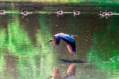Great Blue Heron flying abstract motion — Stockfoto