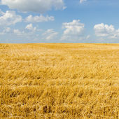 Harvest ready farm field with blue sky — Stockfoto