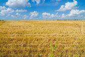 Harvest ready farm field with blue sky — Foto Stock