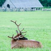 麋鹿在大烟山的草地上休息 — 图库照片