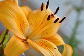 """Peach Dream"" lily flower — Stock Photo"
