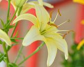 """Dawn Star"" lily flower — Stock Photo"
