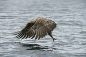 Hunting Eagle with Catch. — Stock Photo