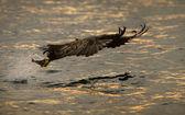 Eagle Hunting at Sunset — Stock Photo